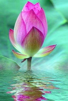 Dessin fleur de nenuphar - Nenuphar dessin ...