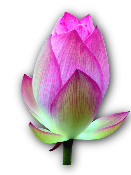 Lotus Blossom Isolated Free Photo On Pixabay