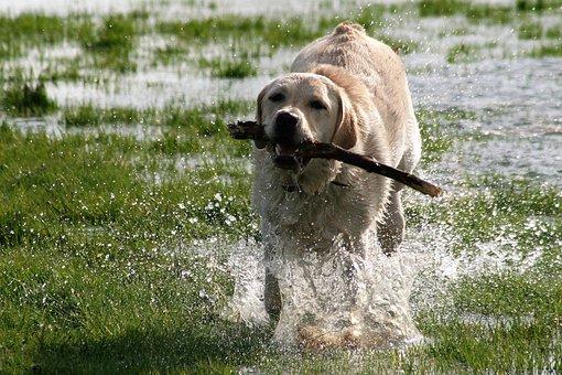 Dog, Labrador, Playing, Animal