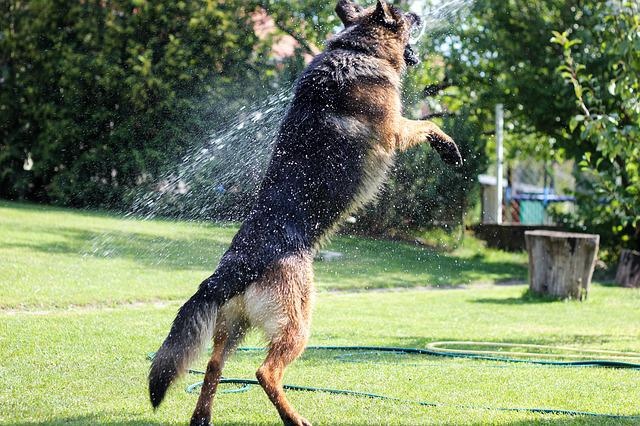 Free Photo German Shepherd Summer Dog Free Image On
