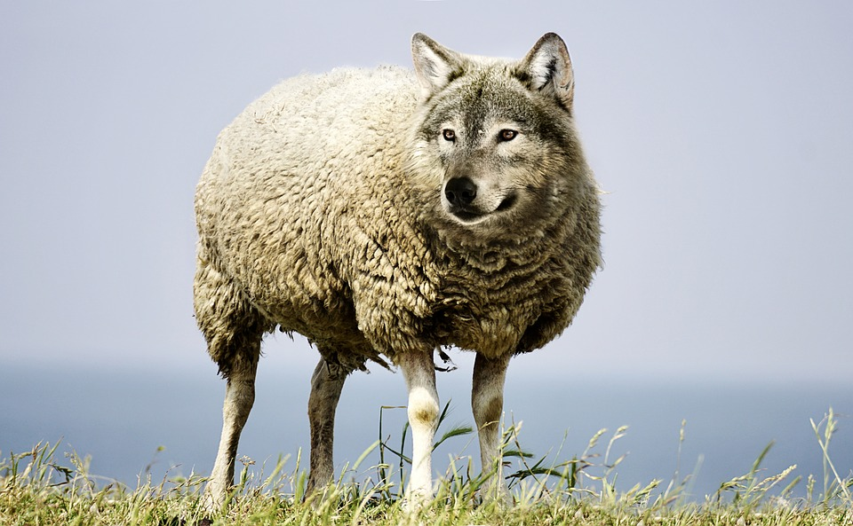 wolf in a sheeps clothing