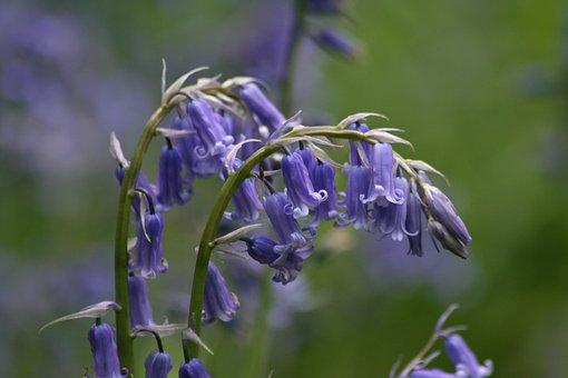 Flower, Bloom, Bluebell
