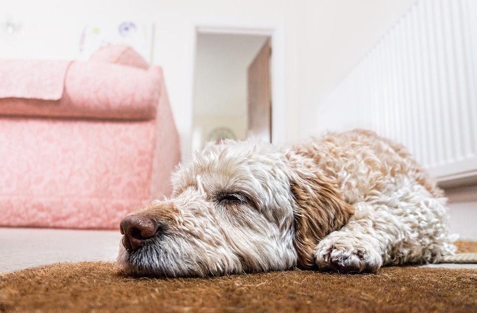 Perro, Piso, A La Espera, Dormir, Mascota, Animales
