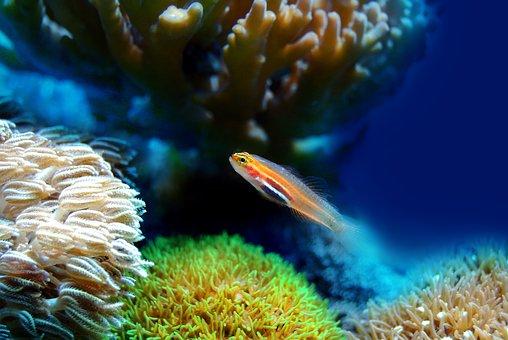 魚, サンゴ, 海, 水中, リーフ, 水, 海洋, 動物, 水生生物, 生活