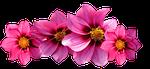 dahlias, flowers