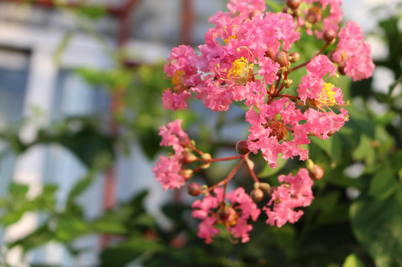 how to trim crepe myrtle