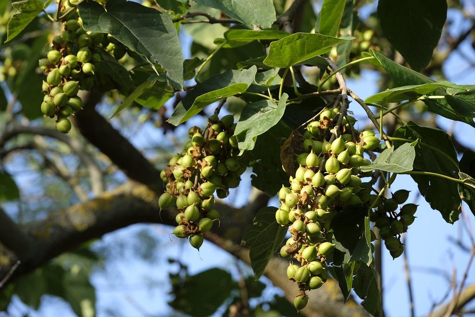 Photo gratuite arbre amande amandier fruits image gratuite sur pixabay 2581200 - Fruit de l amandier ...