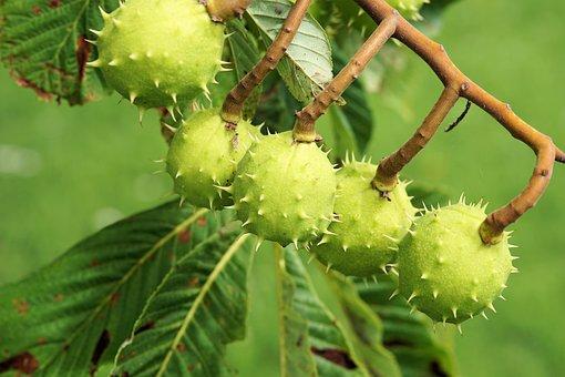 Chestnut, Tree, Leaves, Chestnut Tree