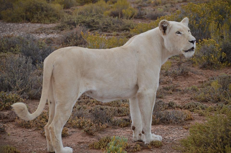 white lion lion walking safari free photo on pixabay