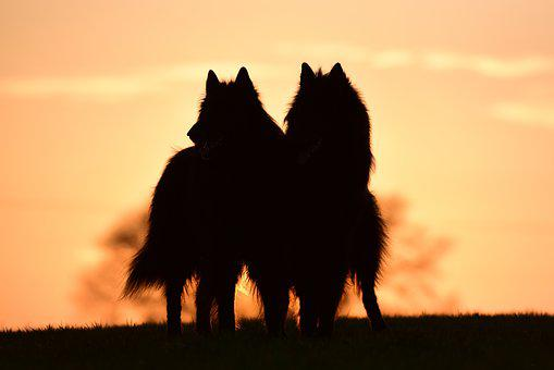 Sunset, Dogs, Belgian Shepherd Dog