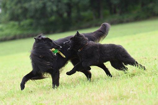 Playing Dogs, Belgian Shepherd Dog, Play