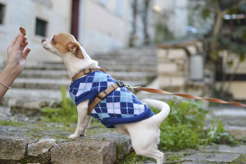 Dog, Puppy, Animal, Cute, Pet, Clothes, Food, Treats