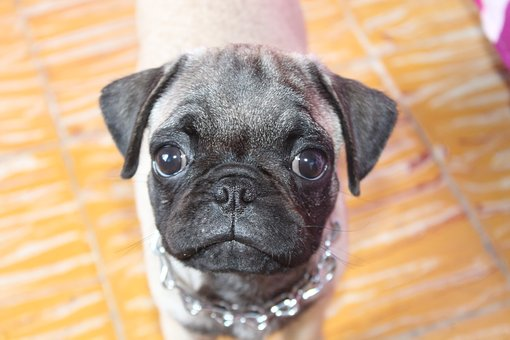 Pug, Dog, Pets, Breed Pug, Sweetness