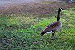canada goose, bird, green