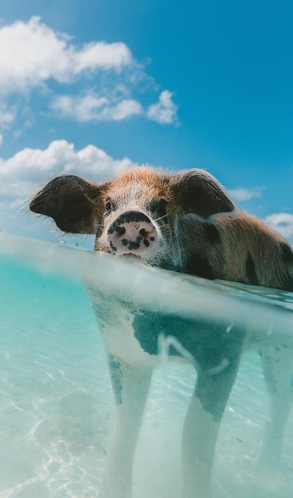 88+ Gambar Babi Air Terbaik