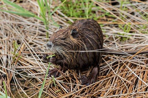 Nutria, Coypu, Beaver Tail, Rat Tail