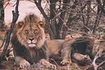 lion, tiger, wildlife