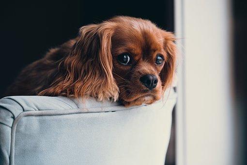 Cachorro, Animal, Cão, Bonito, Sofá