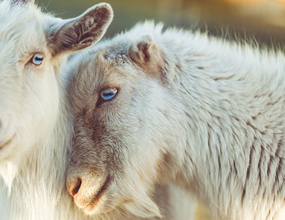 Moutons, Des Animaux, Agneau, L'Amour, Laine, Yeux