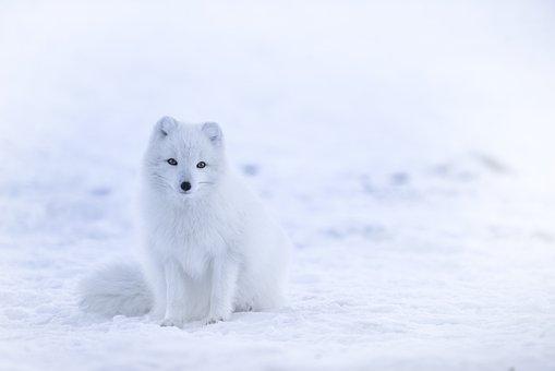343a68277d4 60+ Free Arctic Fox   Fox Images - Pixabay