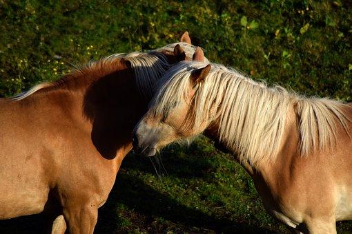 haflinger, 马, 动物, 母马, 马头, 鬃毛, 牧场, 布朗, 高山