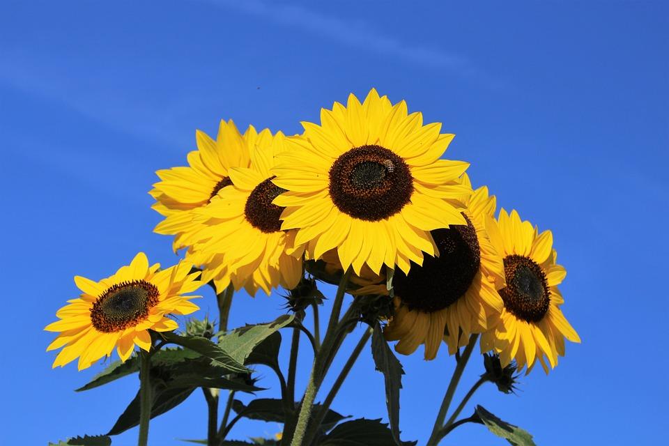 Bunga Matahari Mekar Tanaman Foto Gratis Di Pixabay