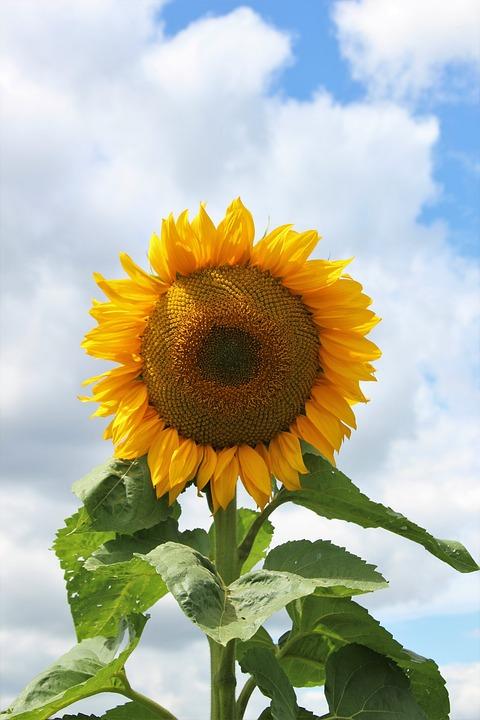 Flower Sunflower Flora Free Photo On Pixabay