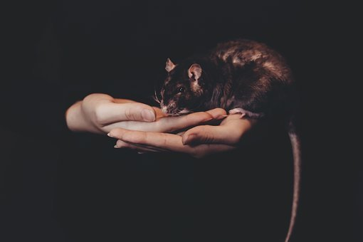Dark, Rat, Mouse, Animal, Hand