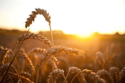 Медведев: РФ поставками пшеницы может создать Кубе прочную продовольственную безопасность