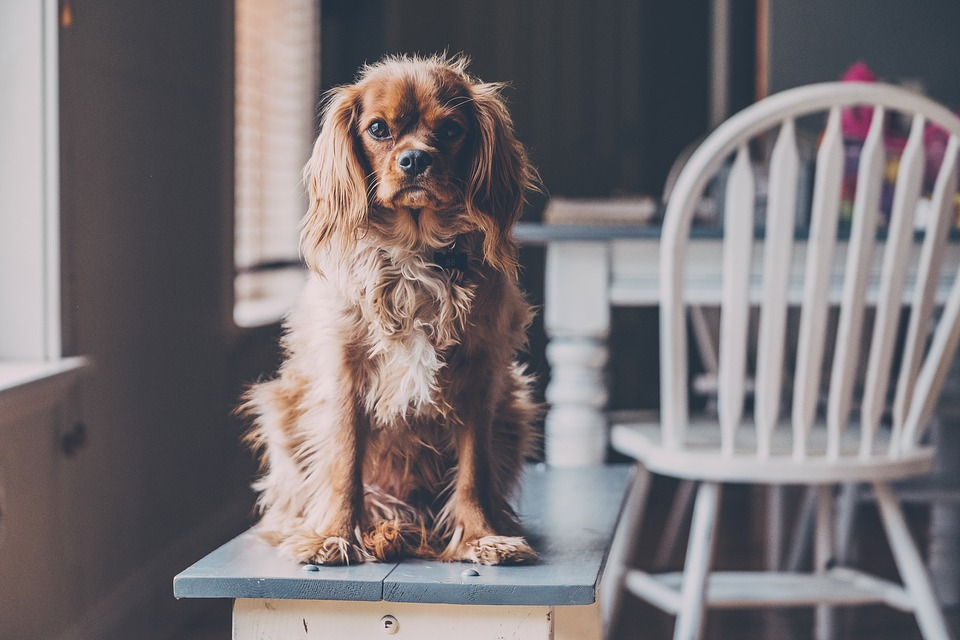 Casa, Sedia, Tavolo, Animale Domestico, Cucciolo, Cane