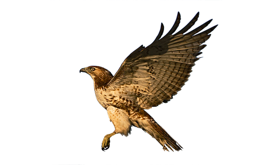 greifvogel silhouette drucken