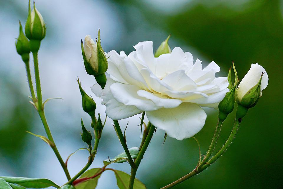 Roses white rose free photo on pixabay roses white white rose white roses flower nature mightylinksfo