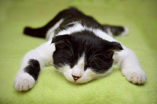 猫, 夢, 猫の休息, クローズ アップ, 怠惰な猫