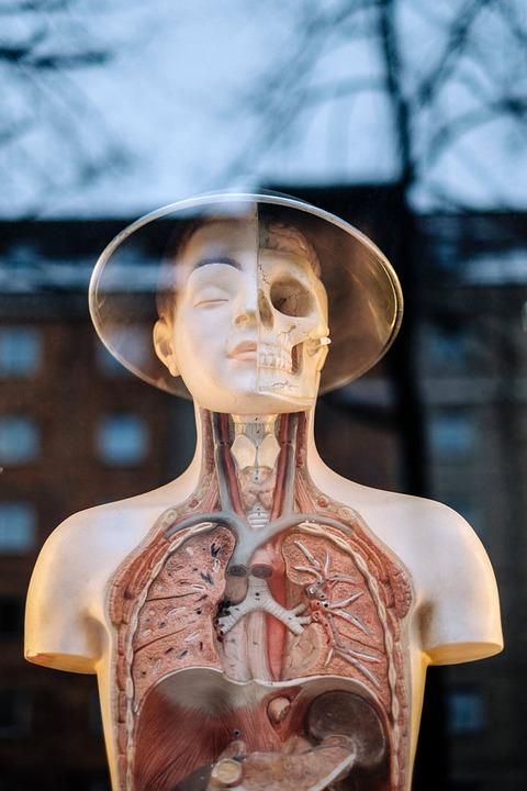 Oberkörper Struktur Medizinische · Kostenloses Foto auf Pixabay