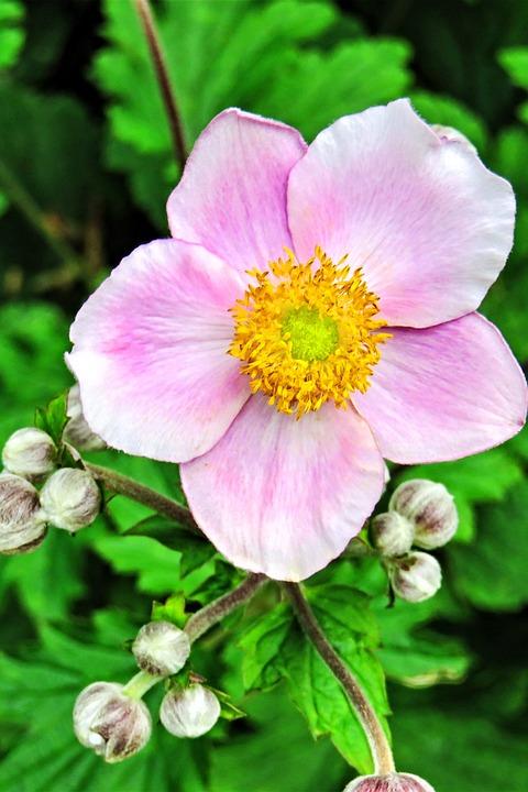 Free photo Plant Fall Anemone Free Image on Pixabay 2606604