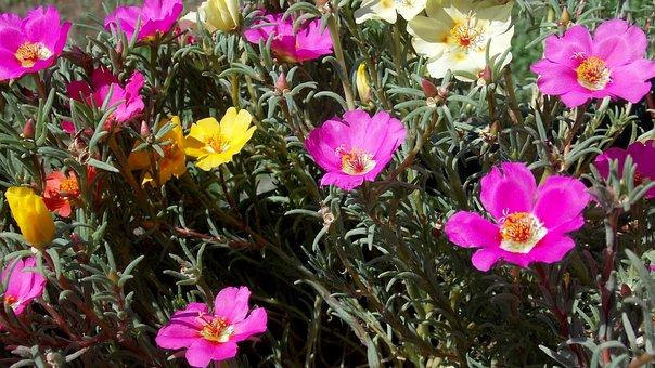 Portulaca, Grandiflora, Bloemen, Tuin