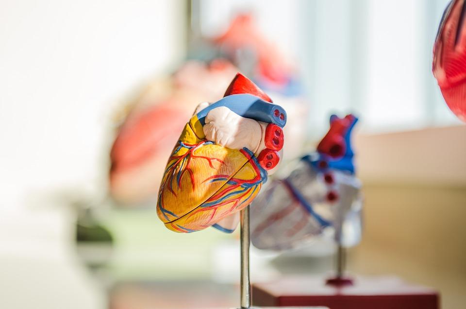 Сердце, Человека, Анатомия, Нервы, Мышцы, Медицинские