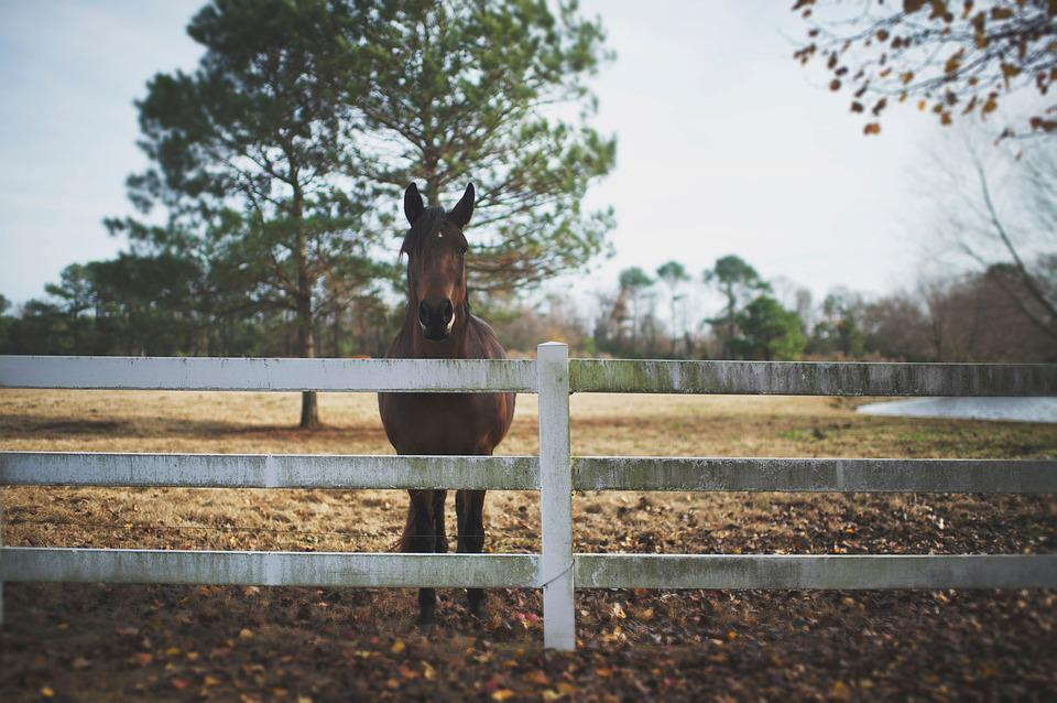 Marrgerd (horse in paddock) – Pixabay – StockSnap