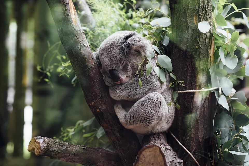 Australia-sleeping-koala