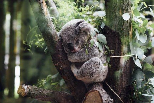 動物, 哺乳類, コアラ, 毛皮, ふわふわ, 愛らしい, かわいい