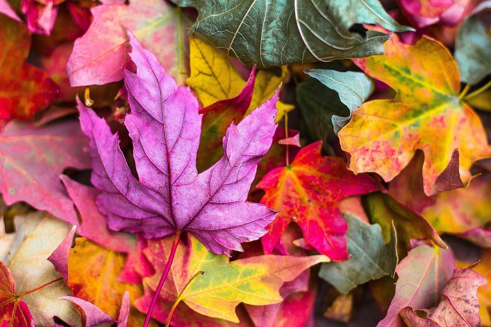 Kleurrijk, Herfst, Bladeren, Gebladerte, Autumn Leaves