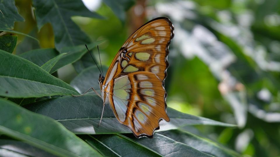 Papillon, Sanctuaire, Nicaragua