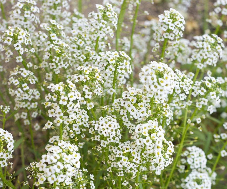 Baby S Breath Flowers White 183 Free Photo On Pixabay