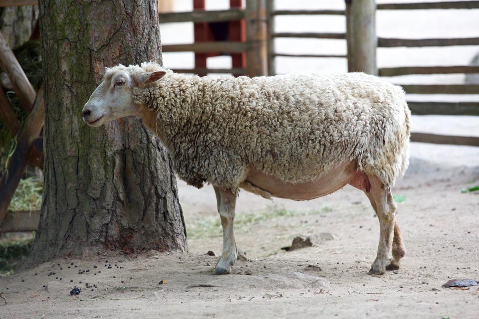 saunatur dyr sheepfold sau natur ull garden torino
