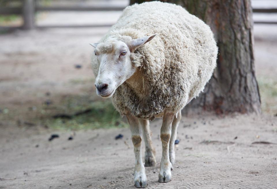 saunatur dyr sheepfold sau natur ull garden piemonte