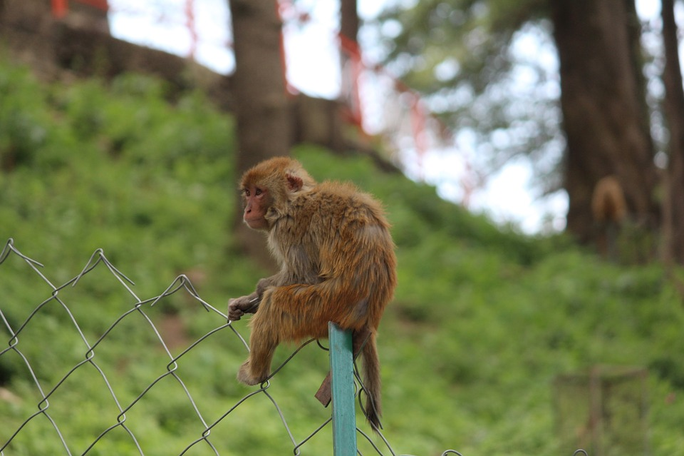 Mono, Solo, Macaco Rhesus