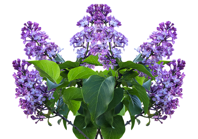 Lilac Spring Flower 183 Free Photo On Pixabay