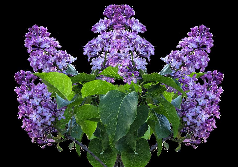Lilas Printemps Fleur Lila Photo Gratuite Sur Pixabay