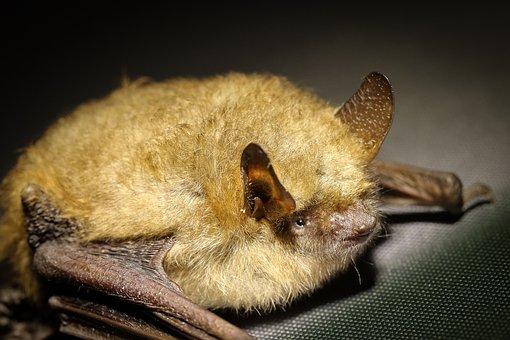 Bat, Animal, Bats