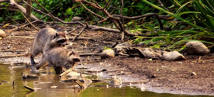 Lake, Water, Raccoon, Animals, Wildlife